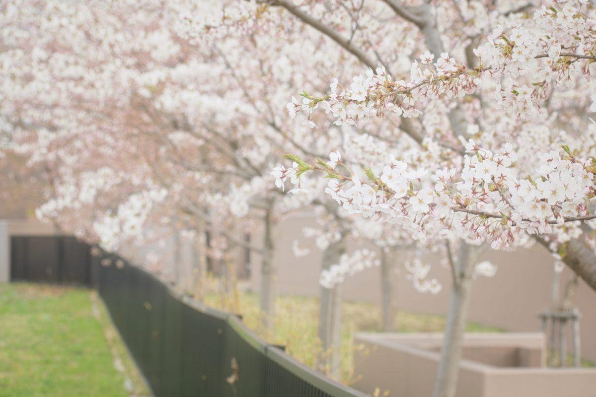 5月3日 札幌市厚別区厚別中央